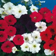 Petunia F1 Super cascade mix 50 seeds